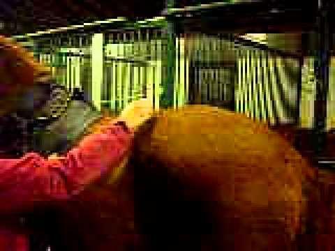 schmerzhafter Ischias Pferd