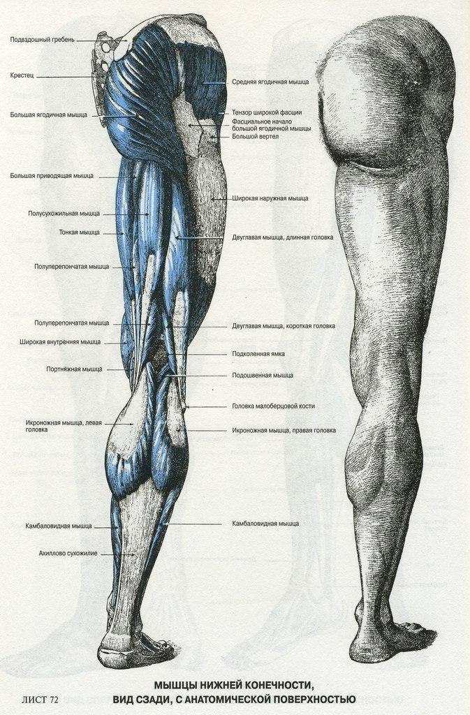 Названия мышц ног картинки