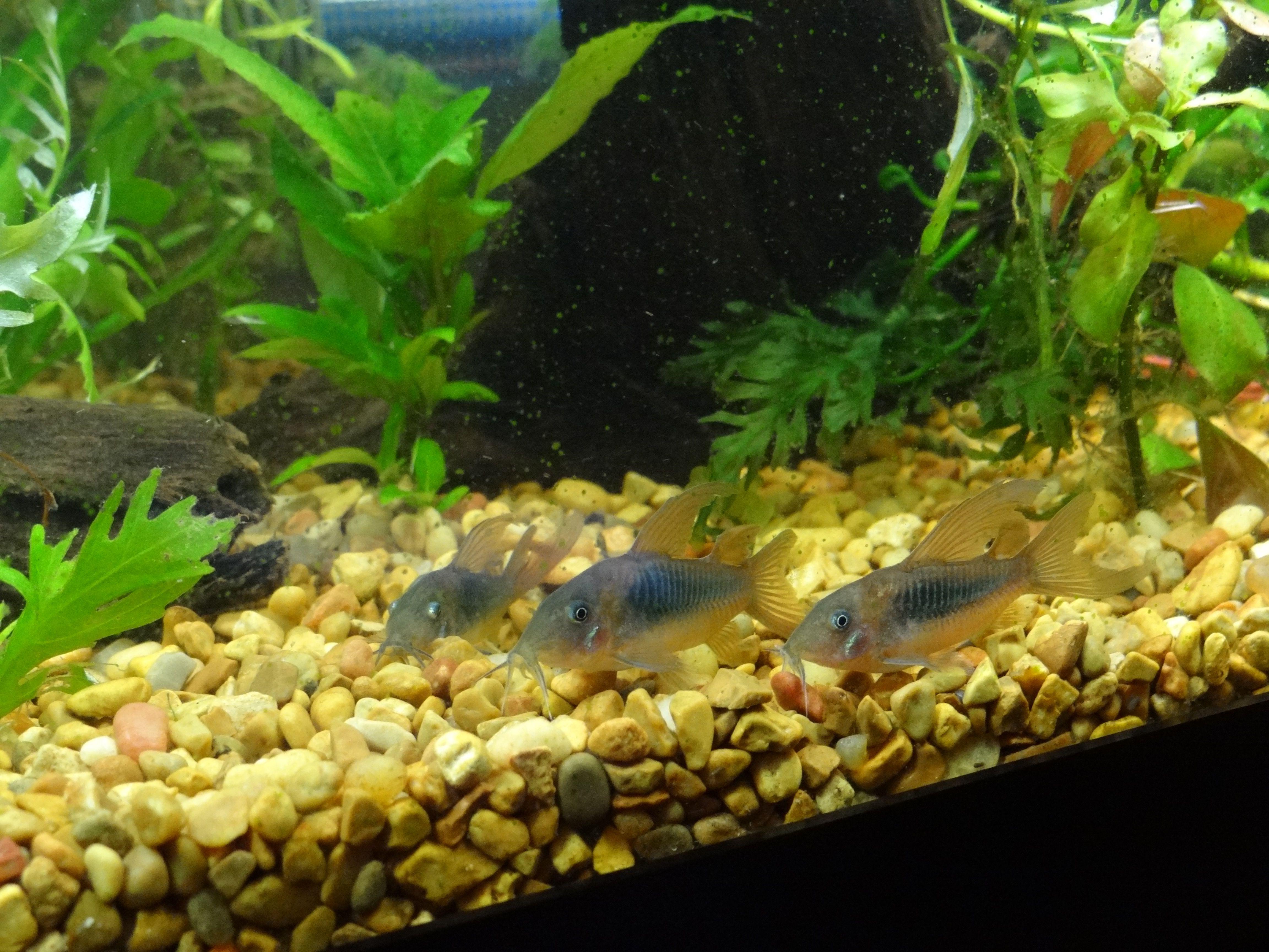 Freshwater fish tank high alkalinity - Longfin Corydoras Catfish Catfishwavestropical Fishtankaquarium