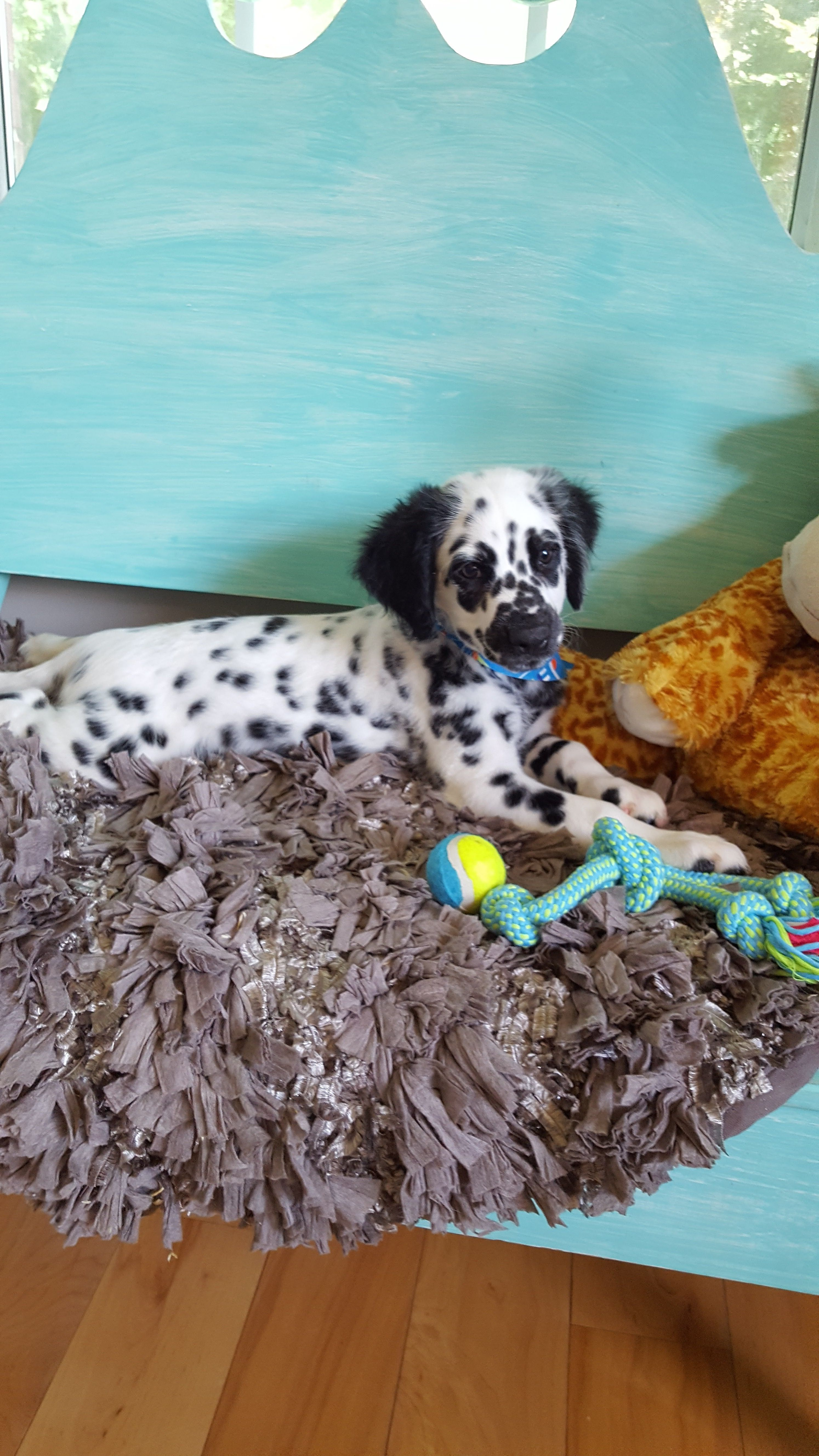 Long Haired Dalmatian Dalmation Puppy Cute Dogs Puppies And Kitties