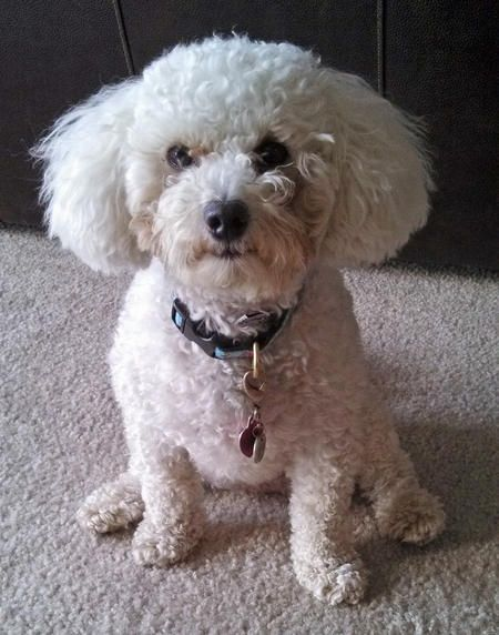 Adopt Judy Tiny Toy On Toy Poodle Puppies Poodle Rescue Tiny