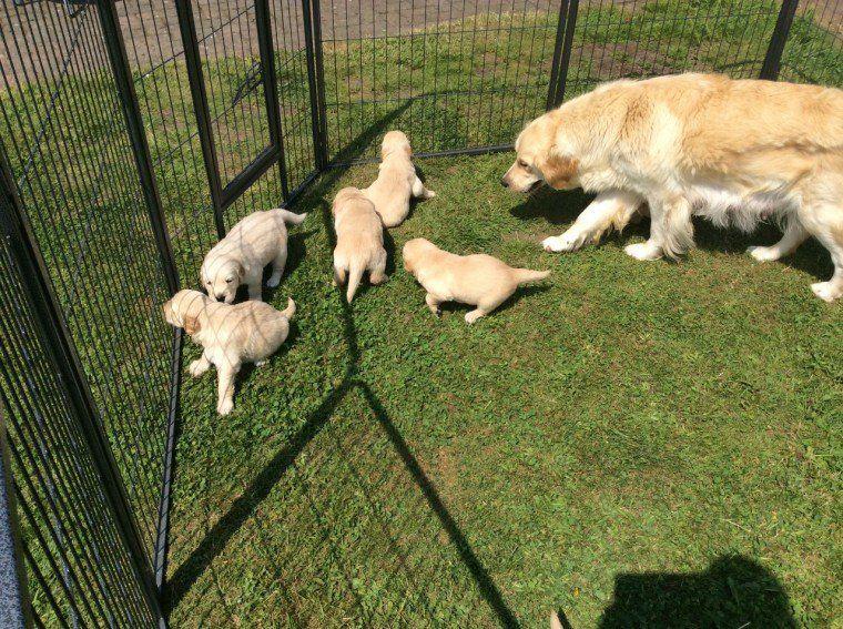 Golden Retriever Puppies Puppies Pets Corgi