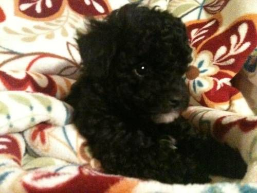 Akc Miniature Poodles For Sale 600 00 Visit Pear Tree Poodles