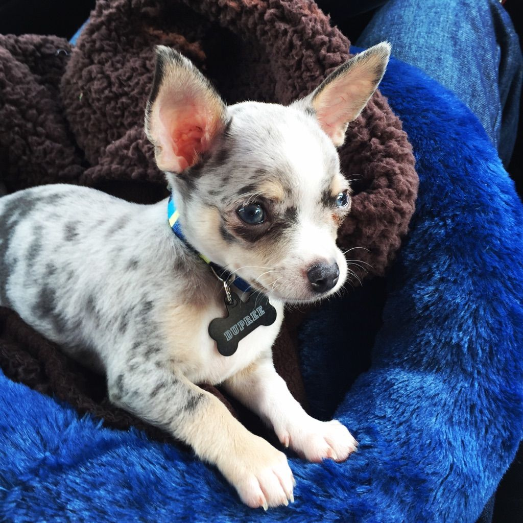 They Grow Up So Fast My Blue Merle Chihuahua Chihuahua