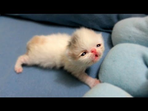 Kitten Marshmallow Eye Opening Experience 2 Weeks Old Cute