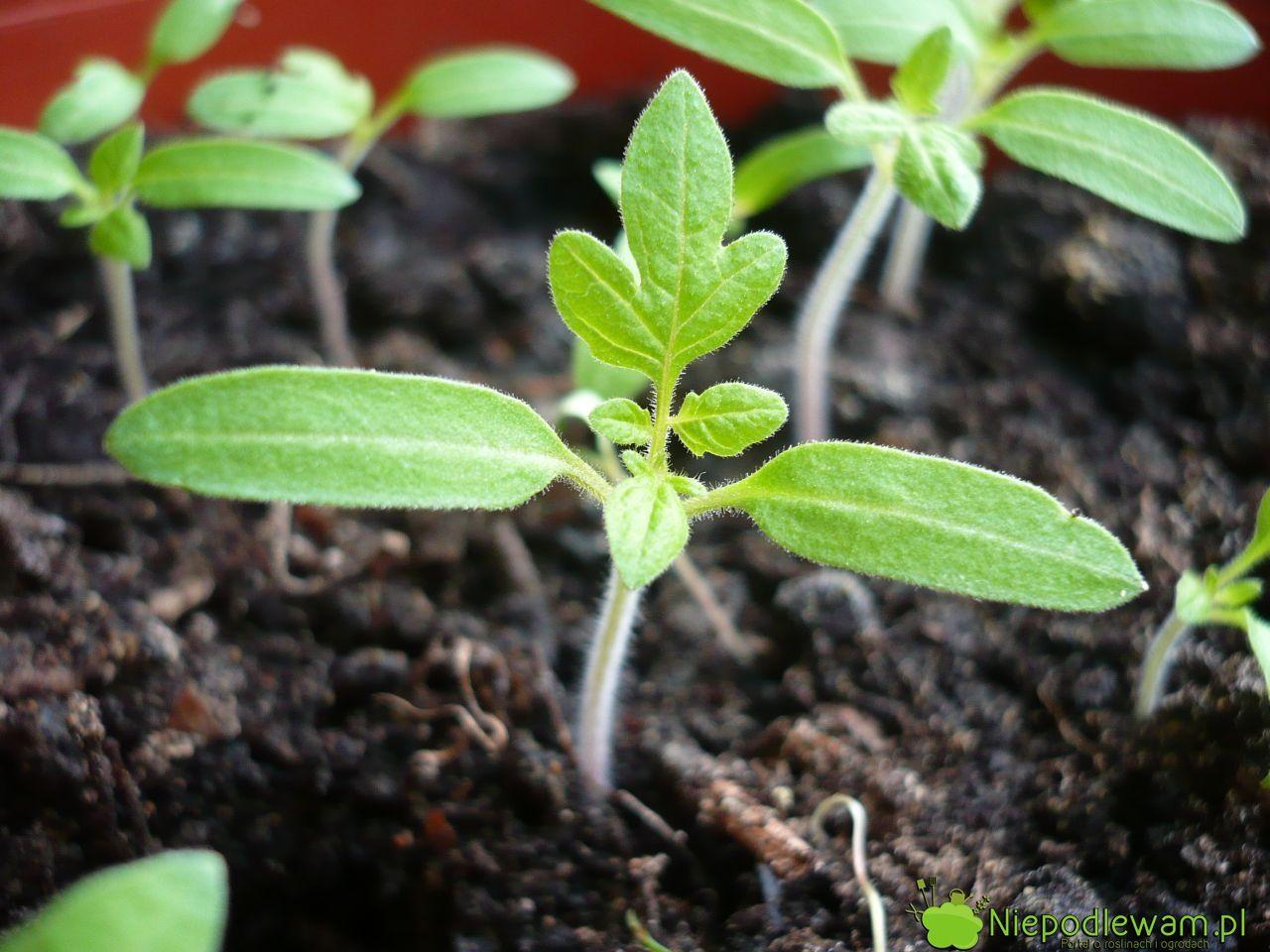 Nasiona Sieje Sie W Marcu Nie Pozniej Niz 15 Kwietnia Rozsada Pomidorow Nie Jest Trudna Do Przygotowania Mozna Siac Do Doniczek Plants Garden Garden Paths