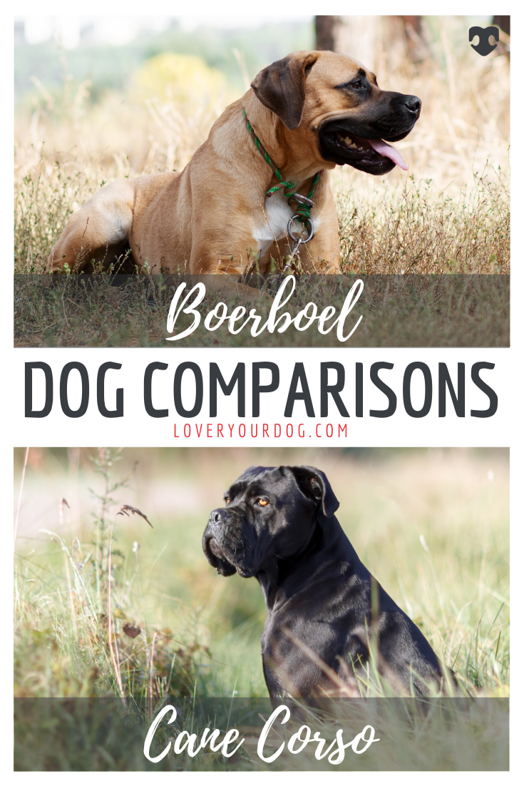 Cane Corso vs. Boerboel Breed Differences & Similarities