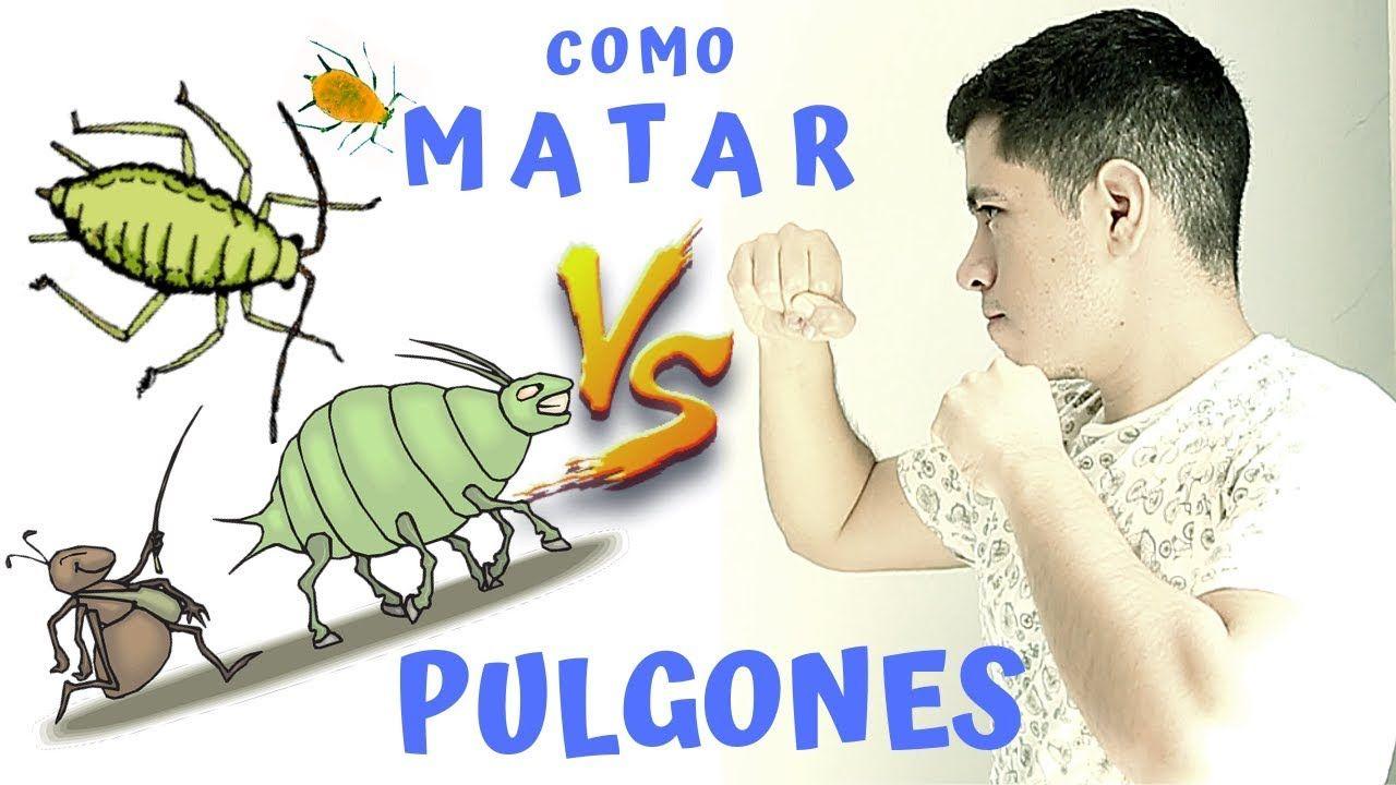 7 Maneras Organicas Para Eliminar Pulgones Eliminar Pulgones Pulgon Pulgones En Las Plantas
