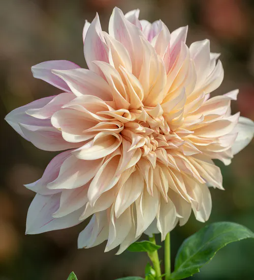 Dahlia Café Au Lait Royal Plants Dahlia Flower Arrangements Planting Pot