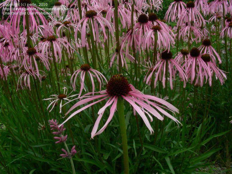 Today S Bloom Is Wavy Leaf Purple Coneflower Echinacea Simulata Echinacea Bloom Sun Perennials