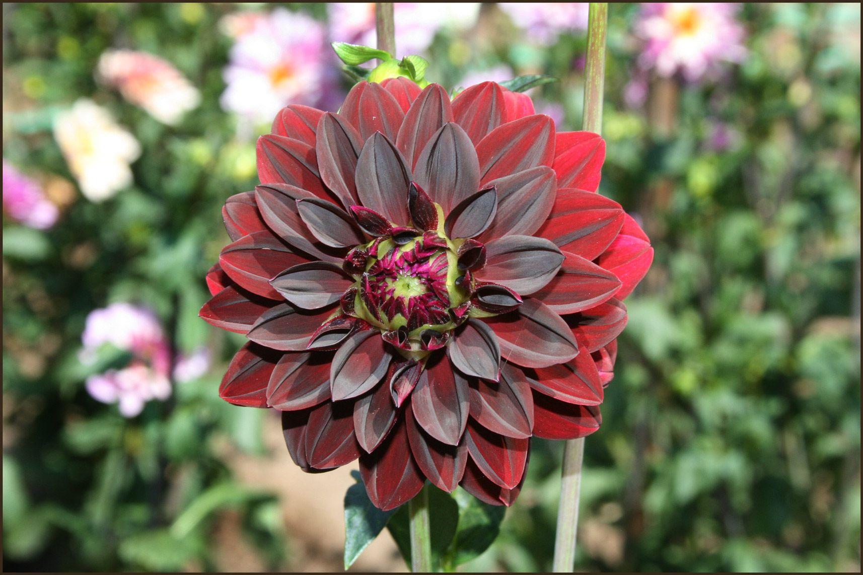 Dahlia Dahlias In Bloom At Filoli Steves Genealogy Blog Bm
