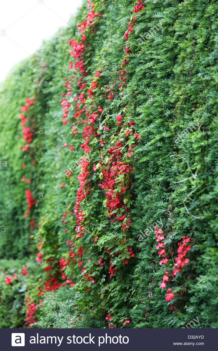 climbing hedge plants