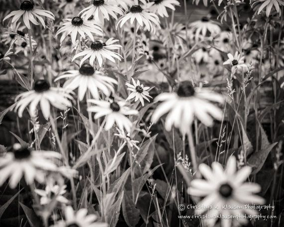 Black Eyed Susan Photograph.  Black and White. Spring. Flower Photo. Landscape Photograph. Wisconsin.  Fine Art Photography 8x10 Print, $26.00