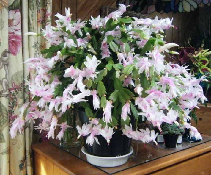 Thanksgiving Cactus, Christmas Cactus, Easter Cactus What\u0027s the