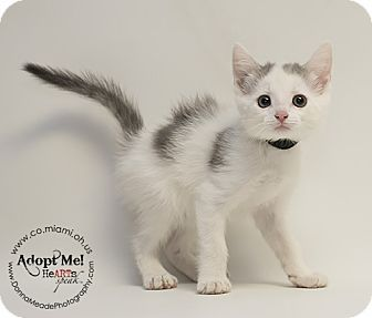 ADOPTED - Missy - located at Miami County Animal Shelter in Troy, Ohio - Female KITTEN Domestic Shorthair