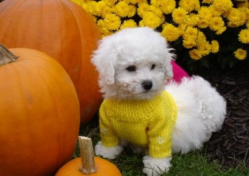 Beautiful Bichon Frise Puppies For Sale In Liverpool Beautiful