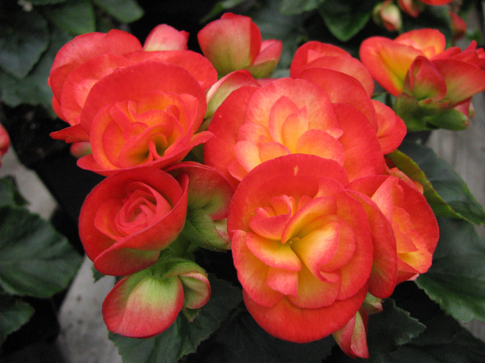 Learn How To Grow Flowering Winter Begonias Begonia Indoor