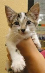 Adopt Chi On Grey And White Cat Adoption Kitty