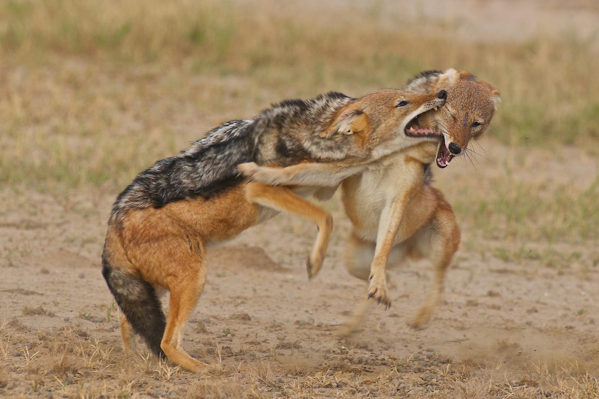 Quarrelsome Black-backed jackals