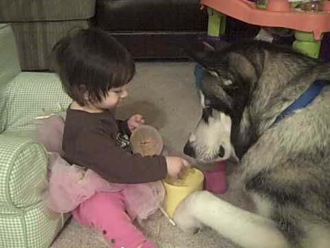Baby And Giant Alaskan Malamute Dog Good With Children