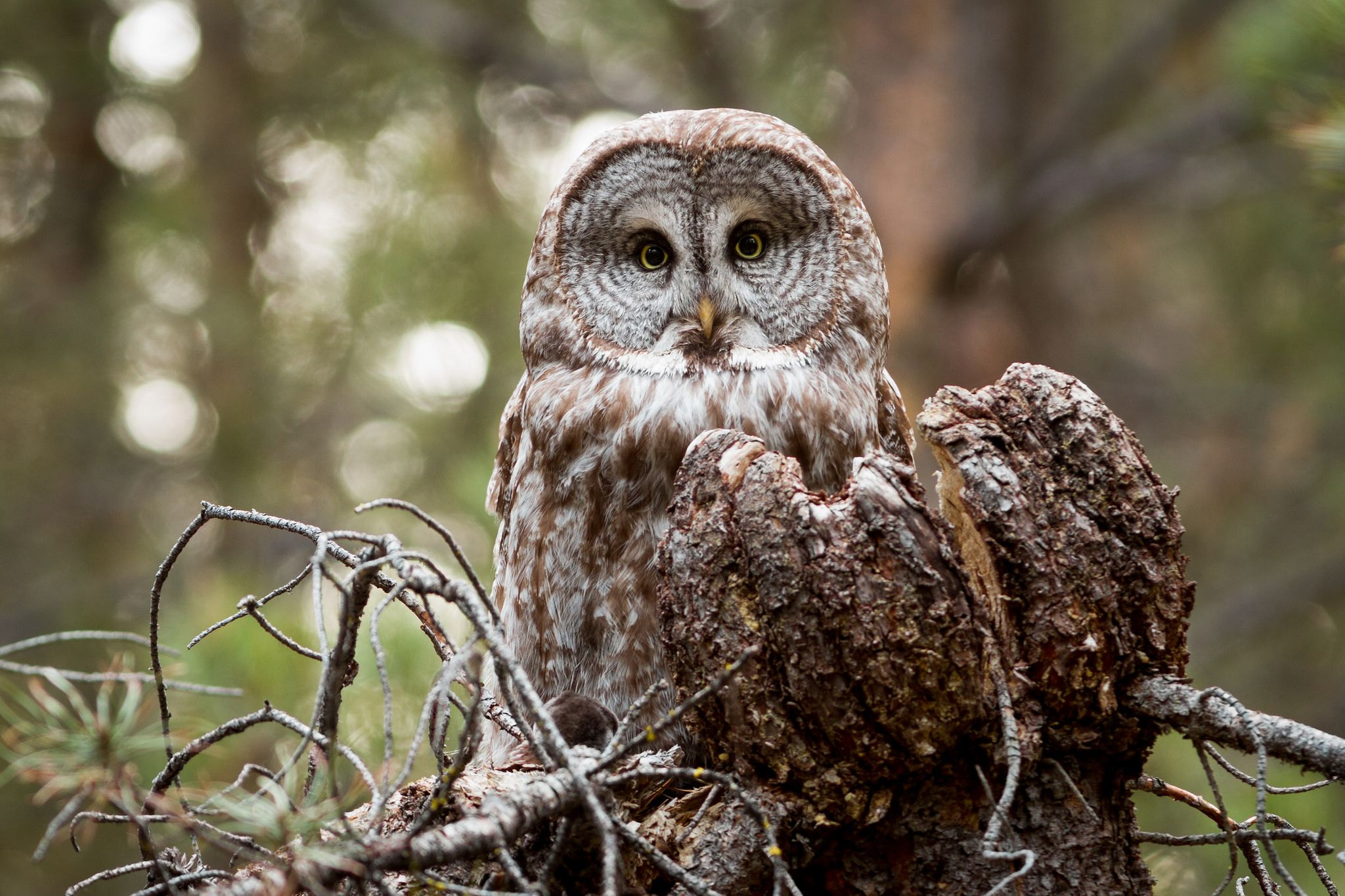 Great Gray Owl with Mole | Owl, Great grey owl, Great ...