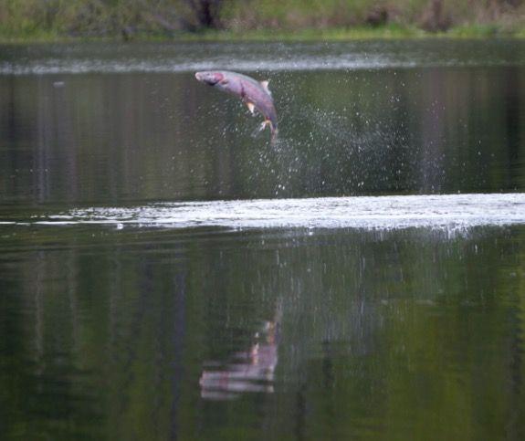 kress lake. stealhead jumping in kress lake near kalama wa