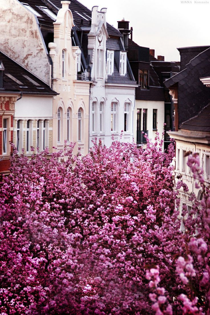 mirnah:Heerstrasse, Bonn, Germany.Also known as the Cherry Blossom Avenue, the street became famous after photographers started posting pictures of blooming trees. Every spring, usually in April, the street in Bonn is booming with these pink gorgeous blossoms.