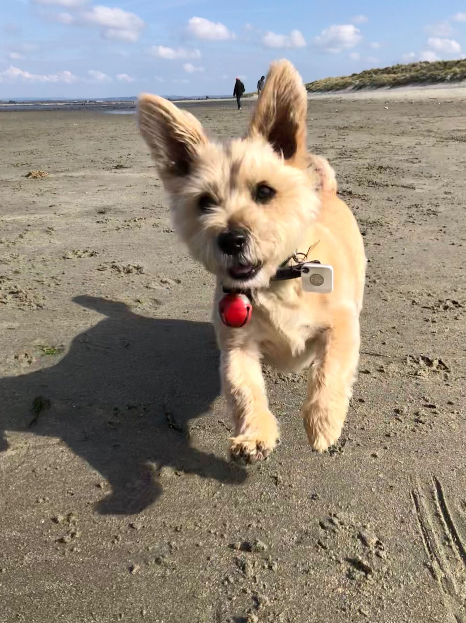 Cairn Terrier Funny Pictures Cairn Terrier Facts Faces