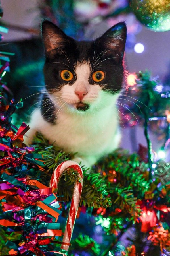 Wut S Dat Striped Thing Me Nevers Saw One Of Dem Things Befores Christmas Cats
