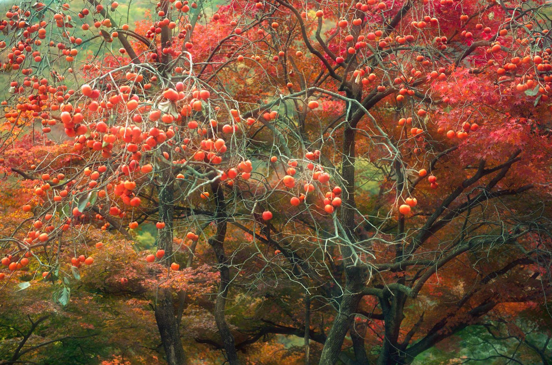 Persimmon Tree Naejangsa South Korea By Kenny Hung 500px Persimmon Tree Hanging