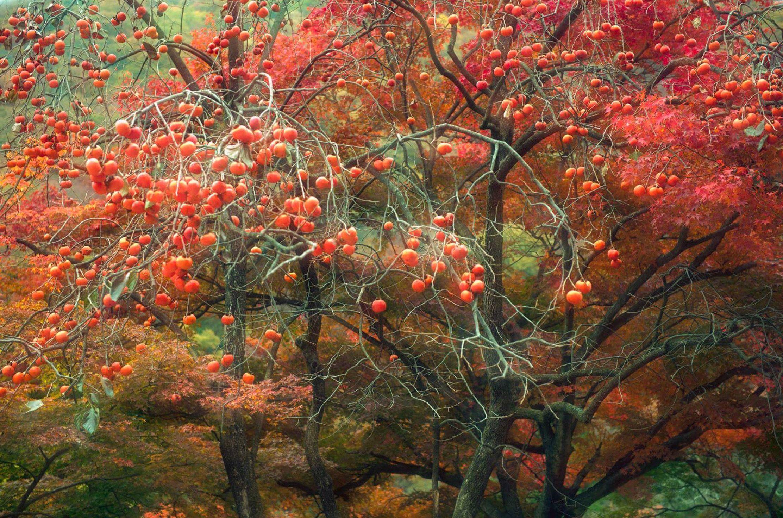 Persimmon Tree Naejangsa South Korea By Kenny Hung 500px Persimmon Tree Hanging