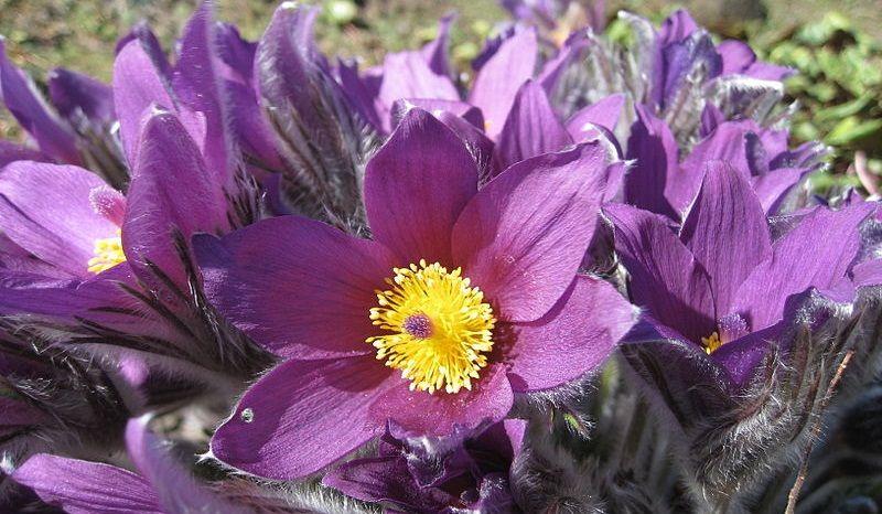 South Dakota Purple garden, Flowers, Flower pictures