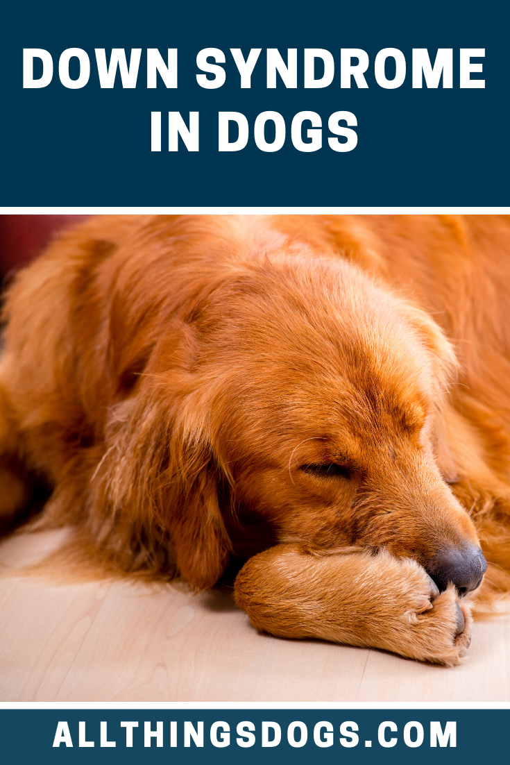 Down Syndrome In Dogs in 2020 Dogs, Golden retriever dog