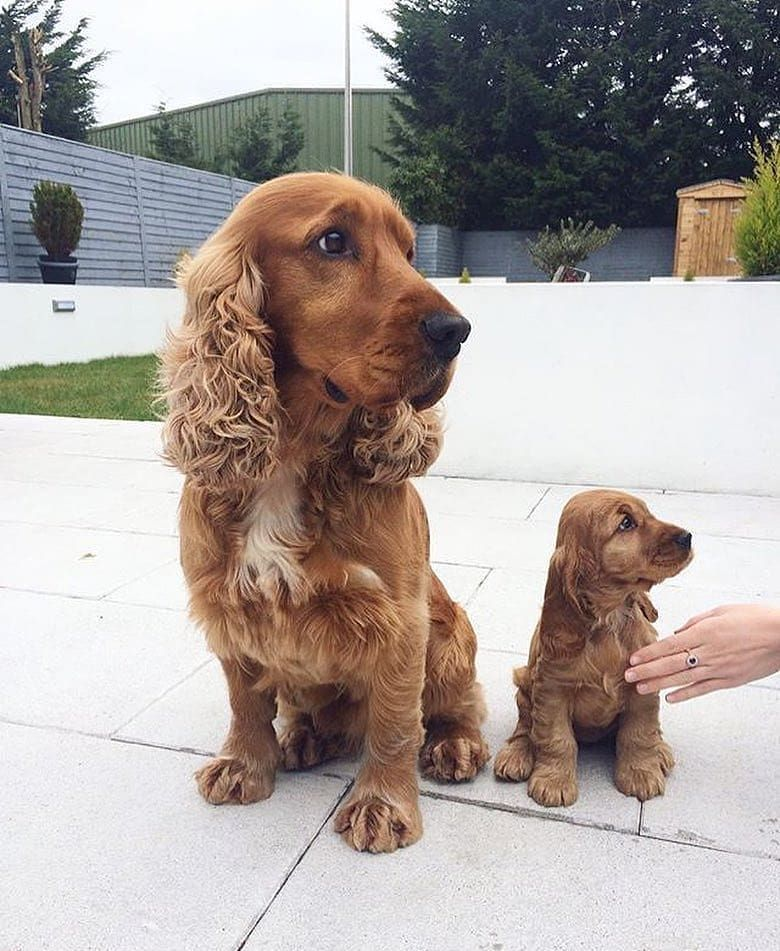 Like Father Like Son En 2020 Chien Chiots Epagneul Animaux