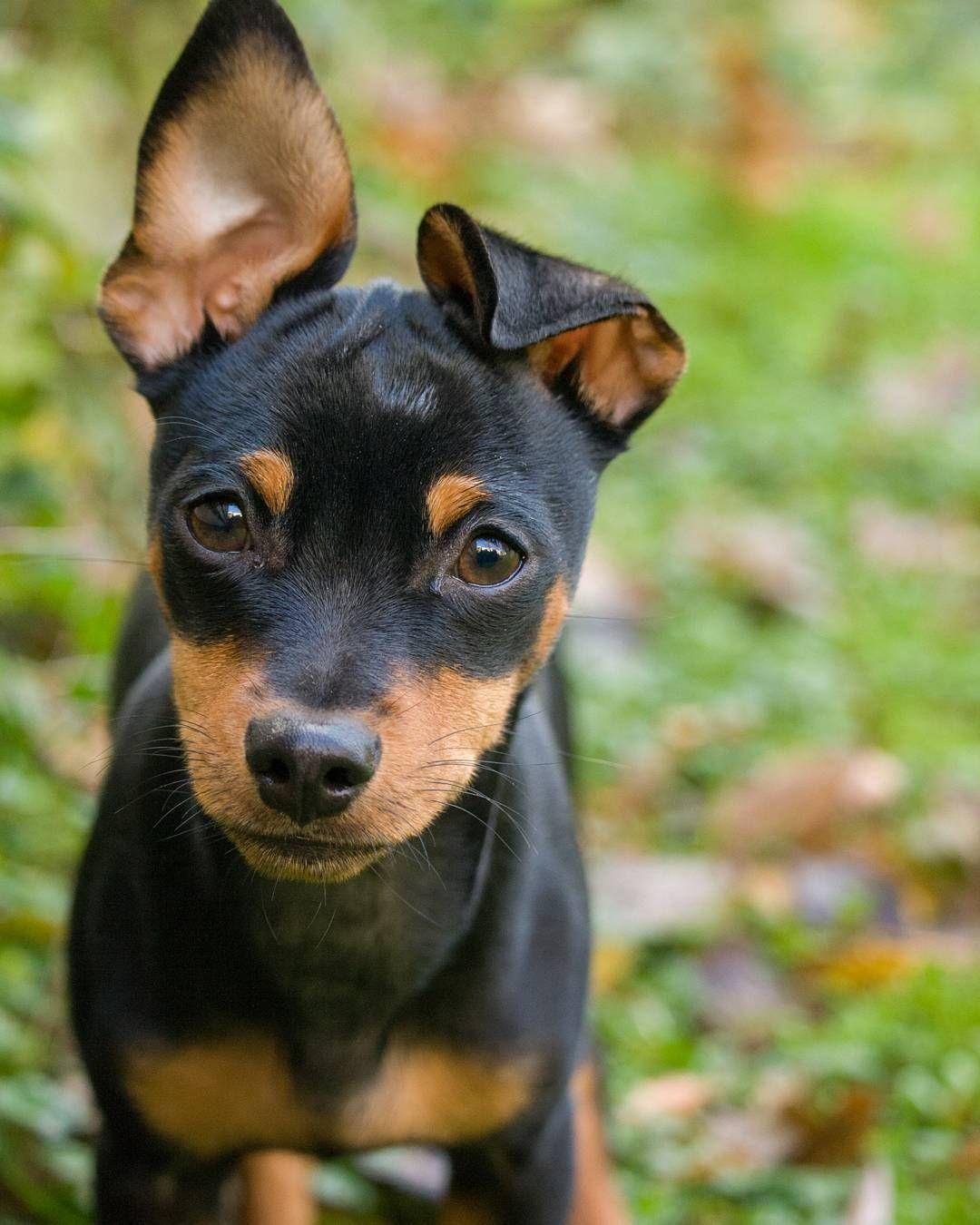Min Pin Billy Miniature Pinscher Puppy Dogs Mini Pinscher