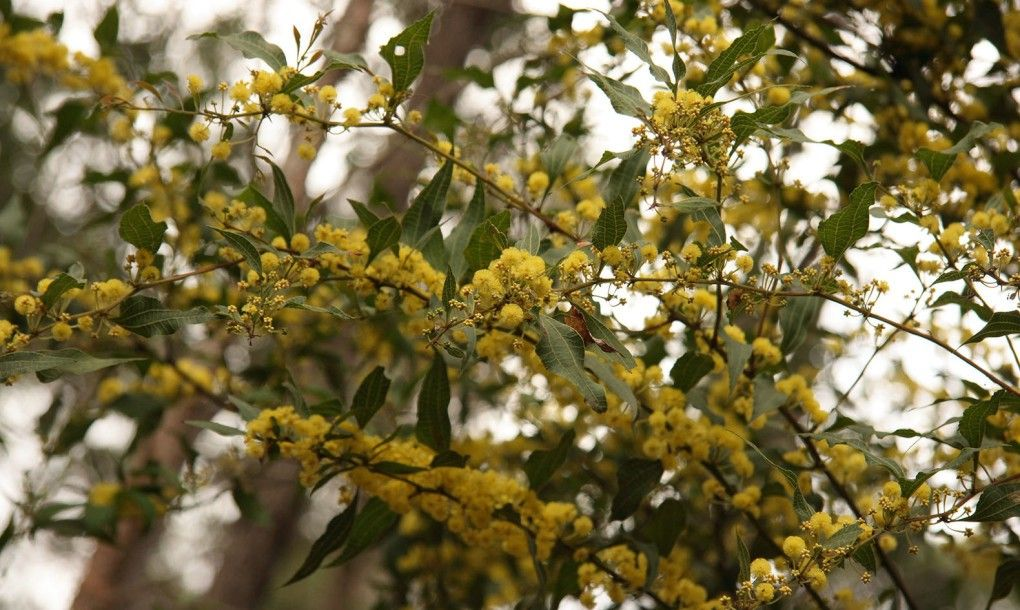 A rare flowering of karri trees in Western Australia has beekeepers excited as bees flock to the blossoms.  They are generating around double the usual yield.