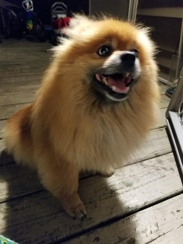 Adopt Missy on Petfinder Pomeranian dog, Animal rescue, Pets