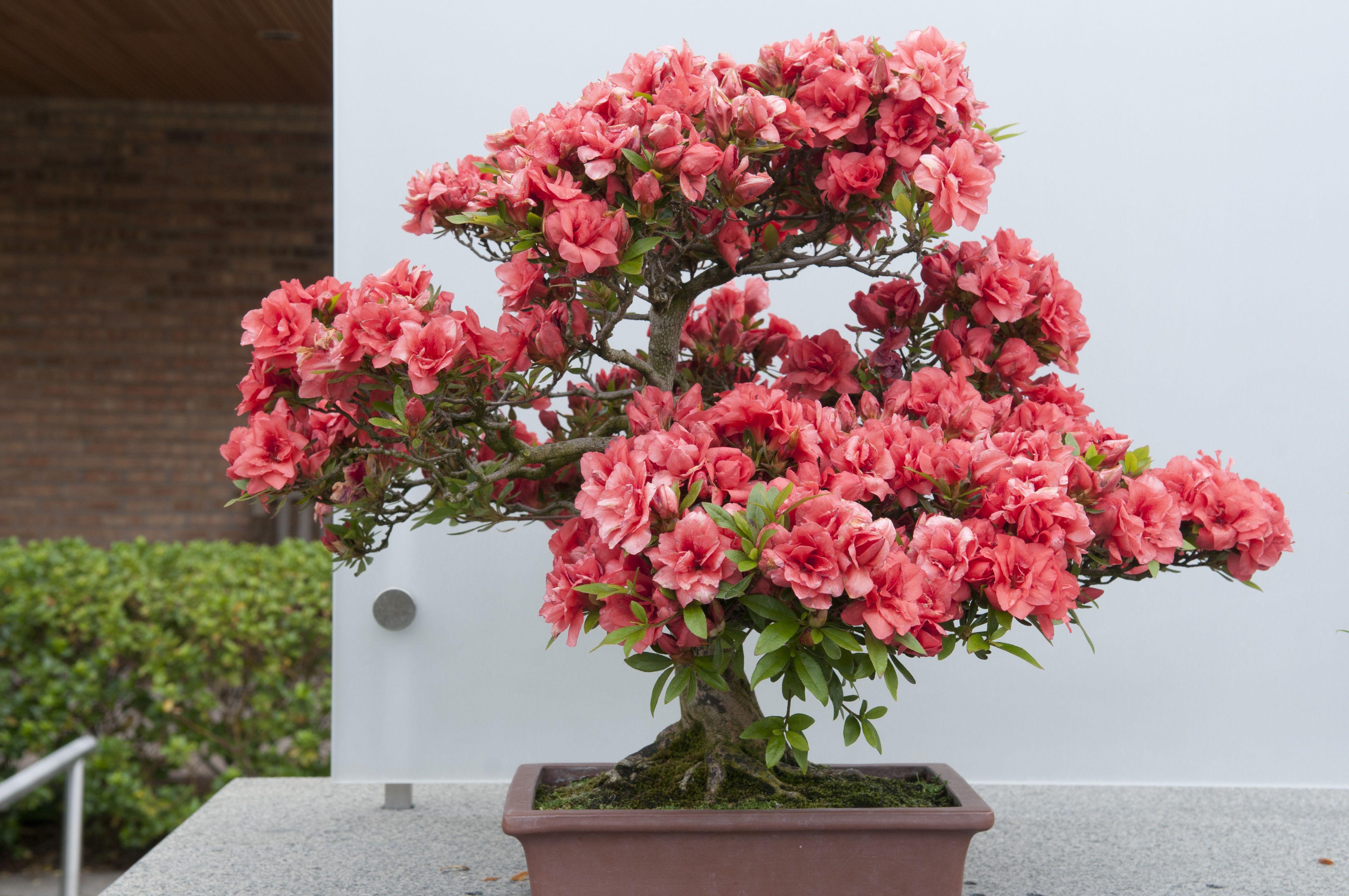 Satsuki Azalea Style Informal Upright Bonsai Art Bonsai Flower Bonsai Garden