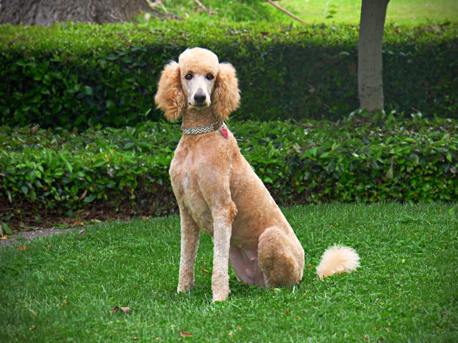 Scarlett Noel Akc Red Poodle Akc Puppies