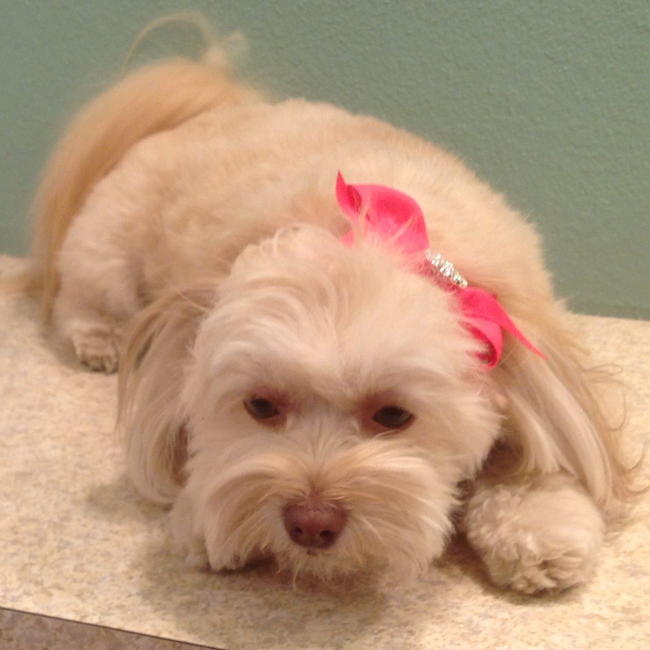 Snickers - Havanese /Pomeranian mix | Dogs | Pinterest