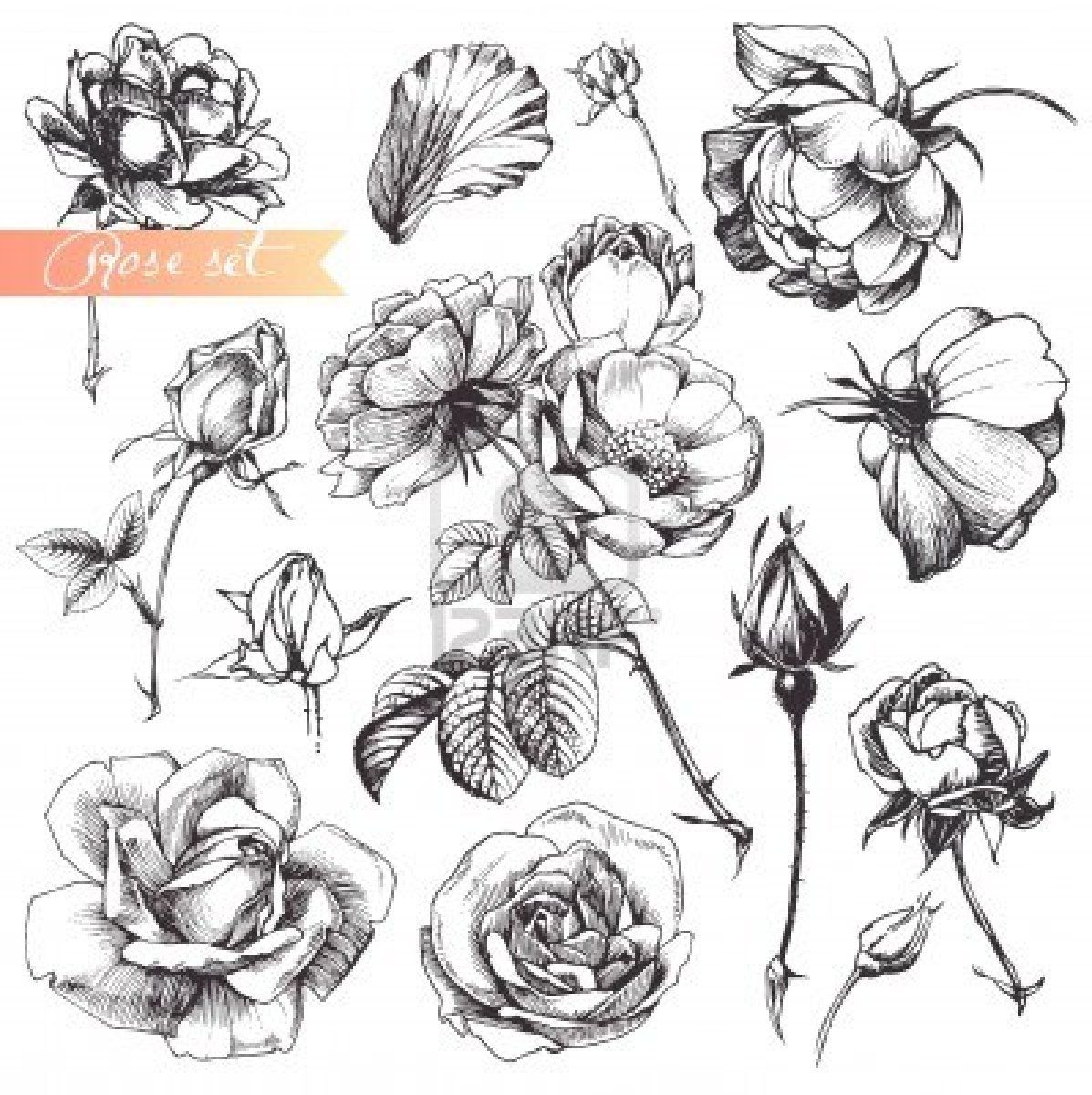 Flower set highly detailed hand drawn roses stock photo