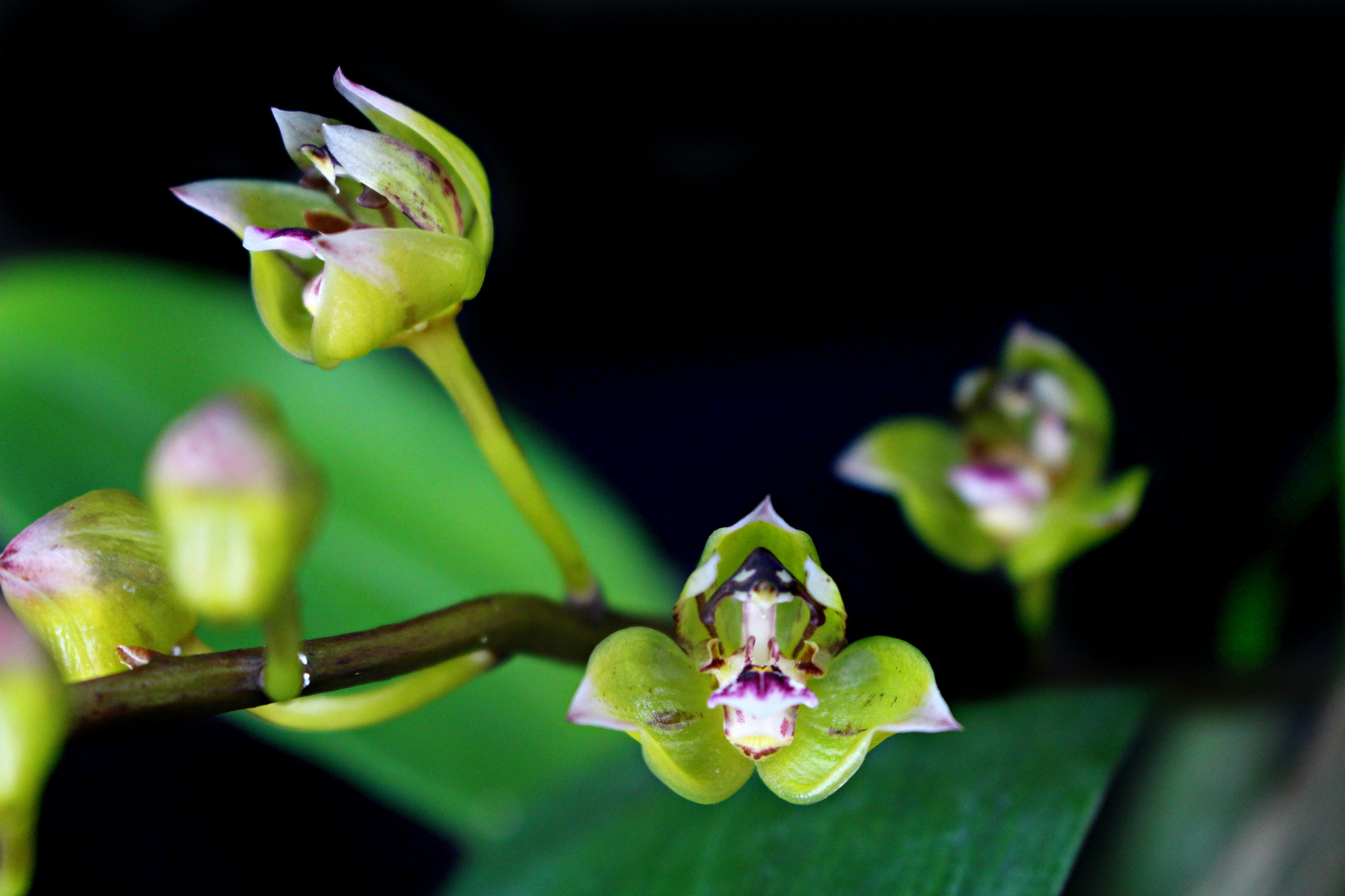 Thecopus maingayi orchid 蘭 orchid pinterest easy house plants