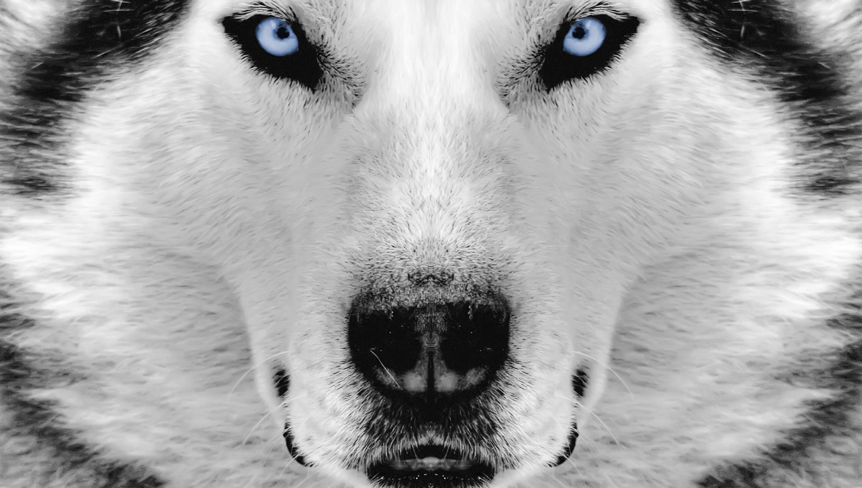 white siberian husky wallpaper, awesome white siberian husky