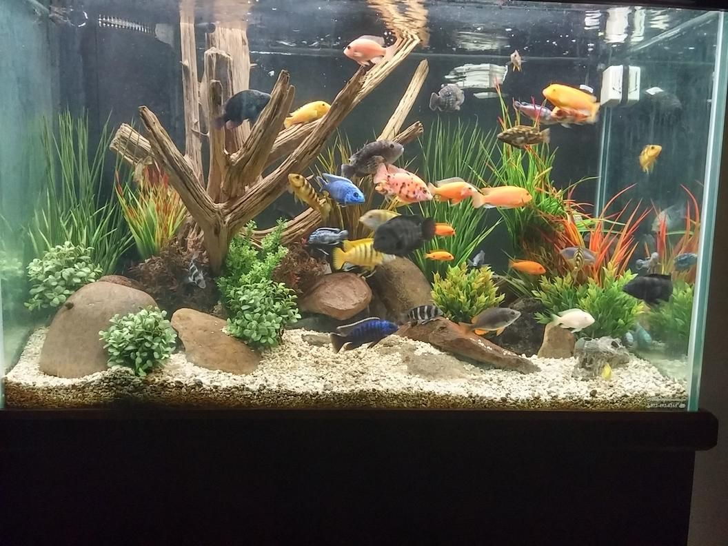 View 2 Full Verison Photos Of 150 Gallons Freshwater Fish Tank Photo 1 Mixed African C African Cichlid Aquarium African Cichlid Tank Fresh Water Fish Tank
