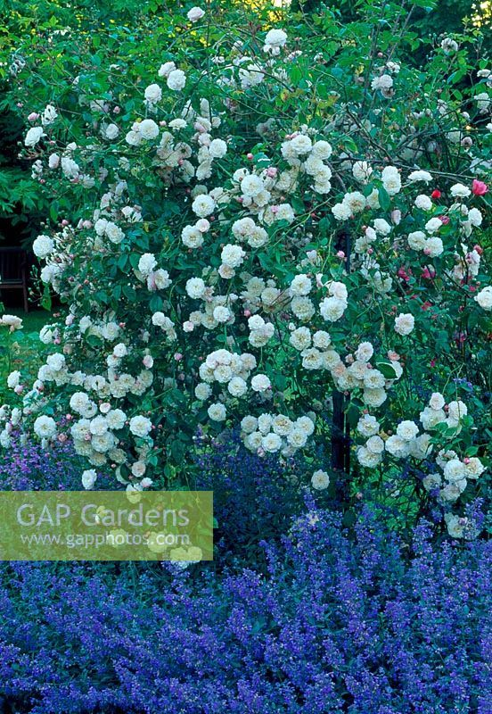 White Standard Rose Possibly Iceberg Underplanted With Catmint Standard Roses Front Garden Garden Inspiration