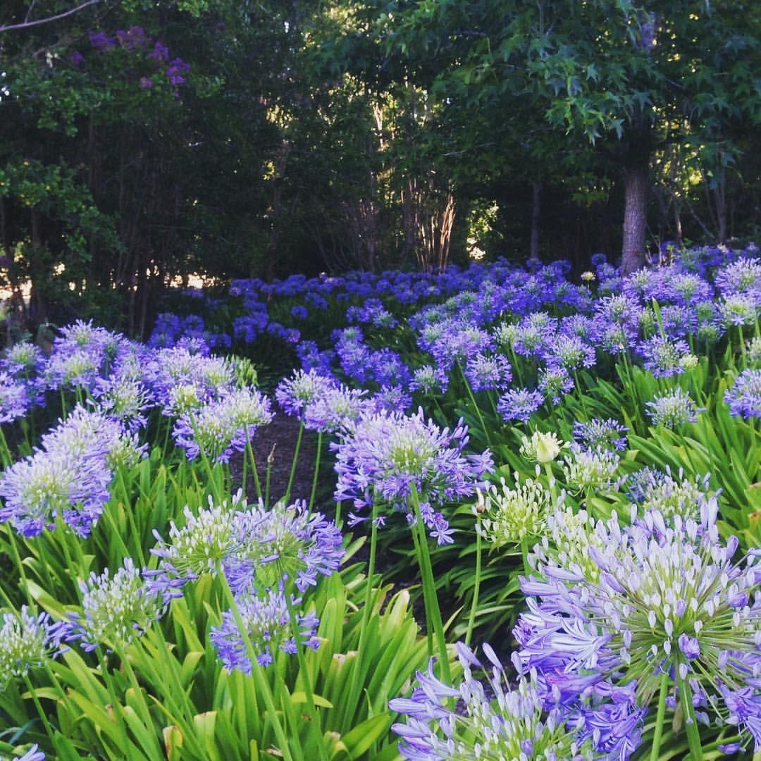 Beware Of The Agapanthus Agapanthus Plants Instagram