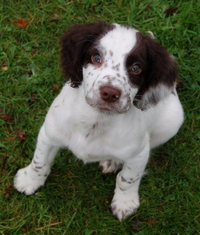 Brittany Spaniel Brittany Puppies Brittany Spaniel Animal Lover