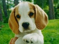 Beagle Breeder Near Naples Fl Beagle Beagle Breeders Animals