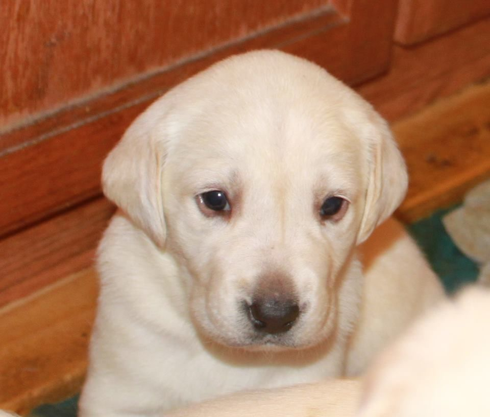 Only 2 Yellow Lab Puppies Left To Find Their 4 Ever Home Call Mayhugh Kennels 970 520 6949 Yellowlabpuppies Ster Yellow Lab Puppies Lab Puppies Puppies