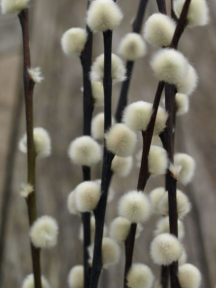 Pussy Willow Tails